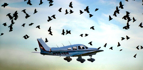 A flock of birds, disturbed by a light plane's takeoff, takes flight from the side of the runway at Canandaigua, NY.